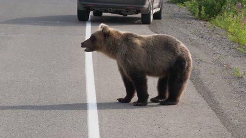 Young wild hungry Kamchatka brown bear walking along highway on sunny summer day. Kamchatka Peninsula, Russian Far East, Eurasia.