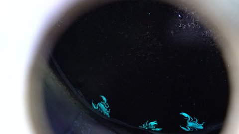 Fluorescent glowing scorpion in a barrel