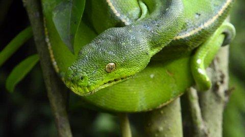 MOUNT HAGEN, PAPUA NEW GUINEA - 17TH AUGUST 2017: Green Python (Moralia viridis) in the jungle