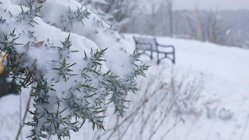 Snow covered gorse bush in Edinburgh - 4k Footage