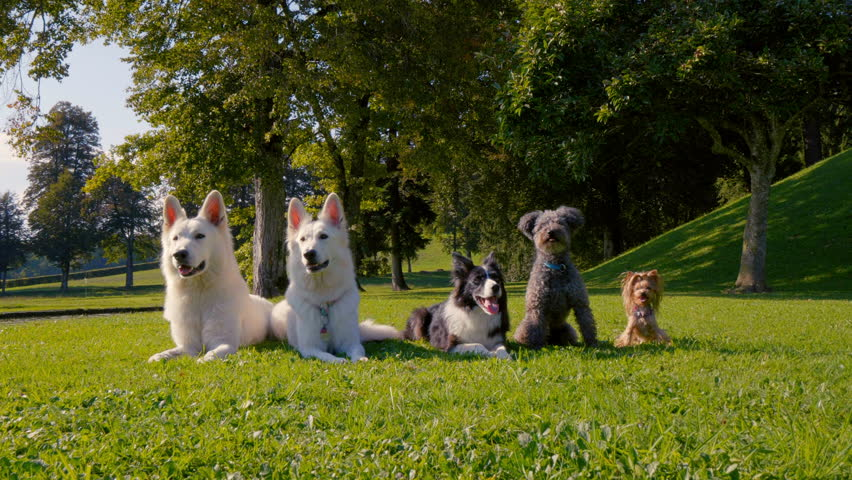 Five dogs lying in the park in a straight line, different breeds, from the biggest to the smallest. They also imitate each other. | Shutterstock HD Video #1021310230