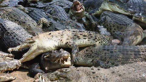 dozens of ferocious crocodiles eat meat