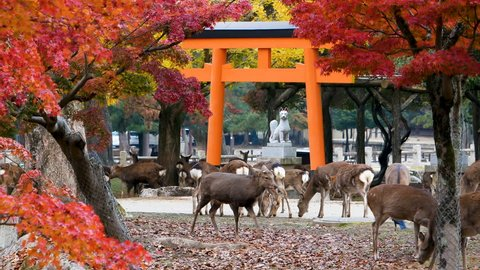 Japan Nara deer with red maple tree background