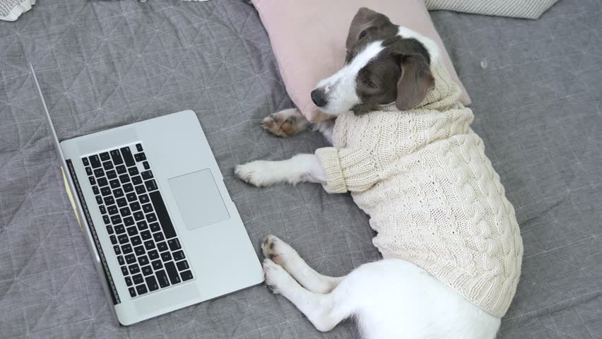 Dog Wearing Knit Sweater Watching A Movie On Laptop Lying On Bed. Coziness Concept.