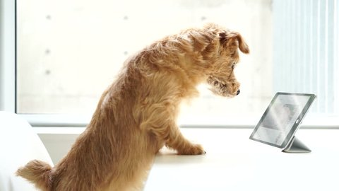 Norfolk terrier dog watching tablet computer