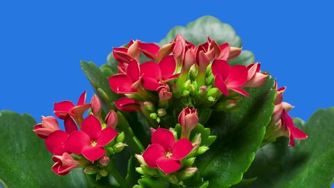 4K Time-Lapse of Kalanchoe Flower Blooming on Blue Background. Close-up of Opening Red Kalanchoe Flower buds with Green Leaves - macro studio shot.