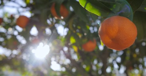 Clementine garden trees
