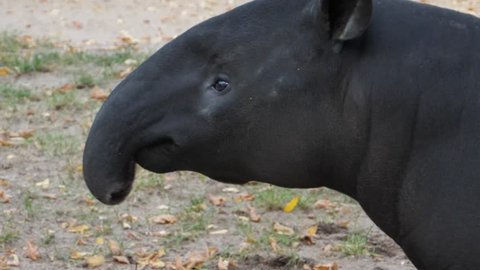 Close up of tapir head moving it's nose and than his head