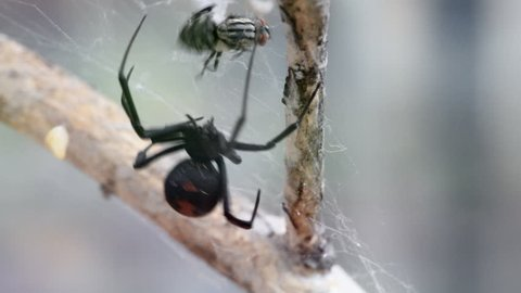 Close up of a female Redback spider (Black widow spider) catch prey and wrapping it with web on a dry tree branch with soft focus background