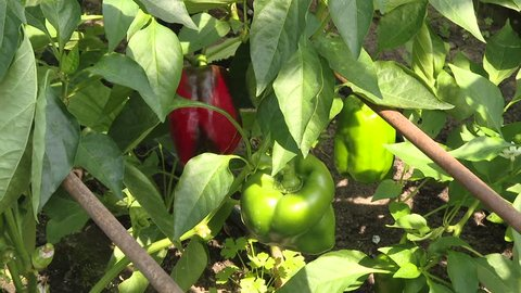 Red bell pepper grows in the garden. Ripe and unripe bell pepper growing on bush in the garden. home pepper garden, red pepper and green leaves