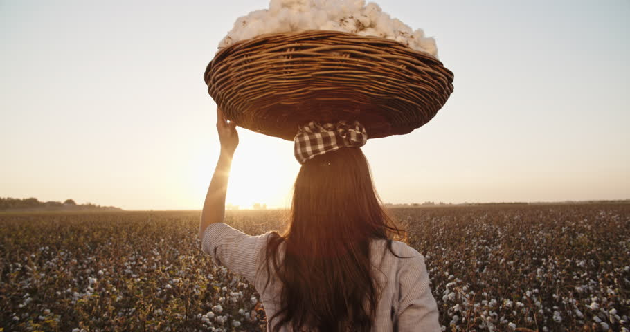 Cotton harvesting. Young indian female harvester walking down the blooming cotton field, and carrying a plate full of fiber on her head - agriculture, manual labor 4k | Shutterstock HD Video #1021876090