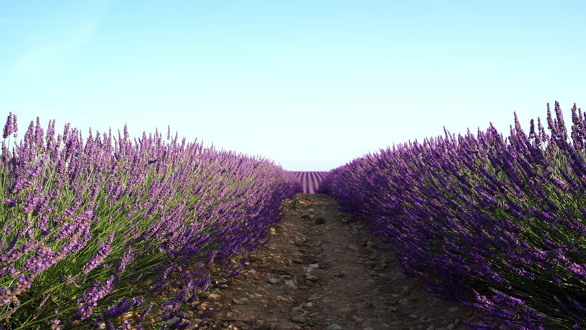Closeup view of beautiful endless rows of blooming lavender flowers in a scented field of Valensole village, Provence, France.  | Shutterstock HD Video #1021932790