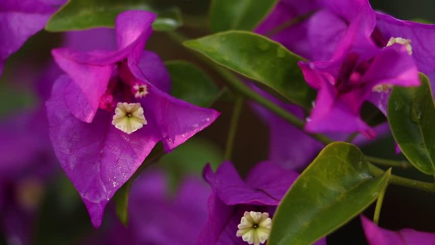 Pink bougainvillea flowers, slowly-slide, slow motion-vdo-HD | Shutterstock HD Video #1021939510