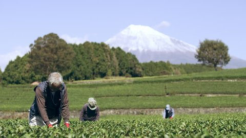 Group of three elderly Japanese farmers going through tea leaves in a tea plantation during a bright fall day with Mount Fuji in the background. Wide shot on 4k RED camera on gimbal.