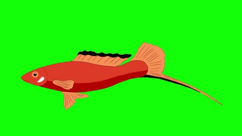 Big Red Aquarium Fish floats in an aquarium. Animated Looped Motion Graphic Isolated on Green Screen