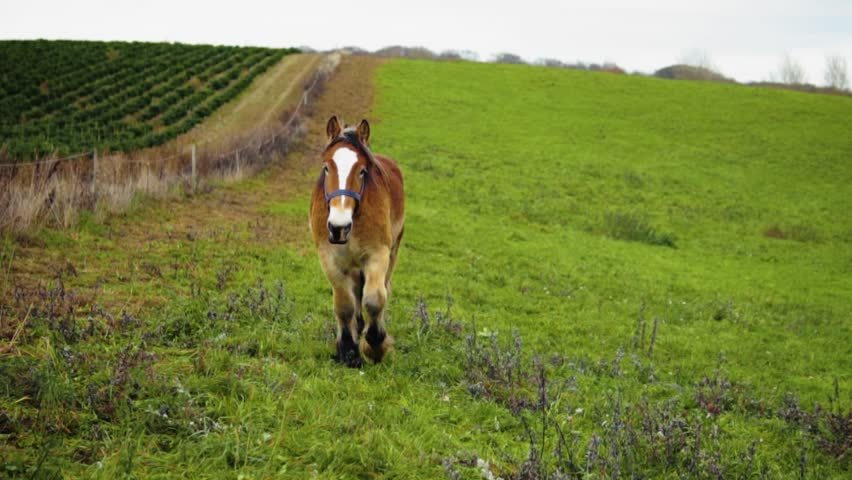 A Danish Jutland Draft Horse On A Field Walking Towards The Camera In Slow Motion | Shutterstock HD Video #1022155810