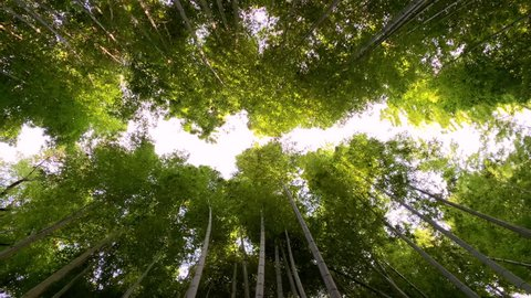 Vertical moving view of Arashiyama Bamboo Grove or Sagano Bamboo Forest, Kyoto