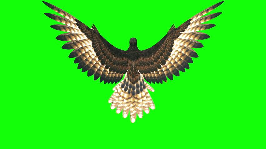 3d render hawk flying loop on green screen ,top view