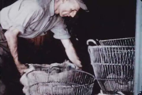 CIRCA 1950s - Shellfish are harvested in the Chesapeake region of Virgina in the 1950s