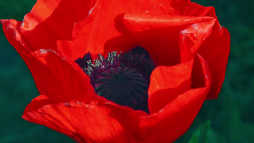 Flower of red poppy in a field of poppies. Flower of red poppy in the field among the grass. A bee collecting pollen on a red poppy. Red poppies under the summer sun. Wildflowers.