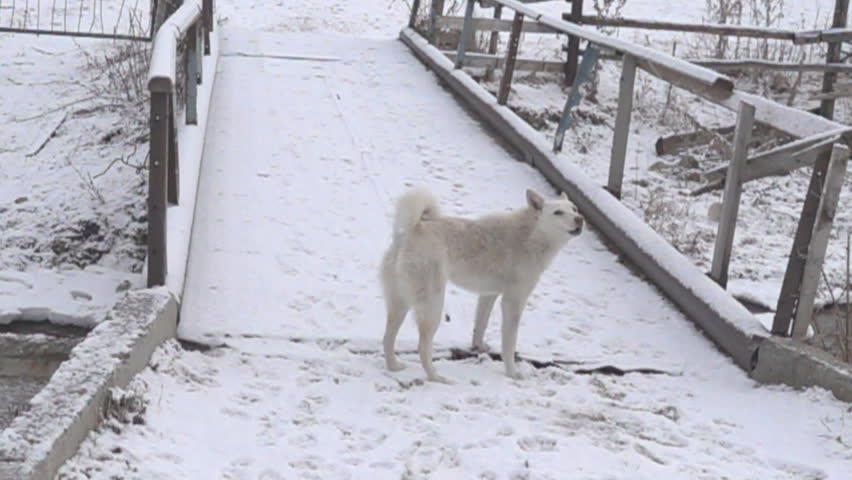 The white dog is guarding the bridge, winter. Dog barks. Super slow motion
