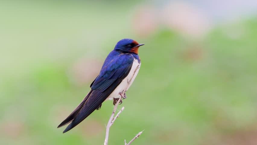 the barn swallow in natural habitat (hirundo rustica) in spring #1022329450