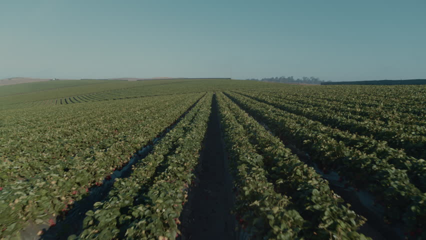 Morning Pass Through Foggy Strawberry Raw Fields High, California/US - 6/12/18 Bird eye View at Sunrise.  Aerial Shot on Inspire 2 Zenmuse 7 Prores HQ | Shutterstock HD Video #1022423770
