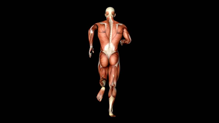 Running Anatomy Muscles Tendons 3d Stock Footage Video (100% Royalty-free)  1022442070 | Shutterstock