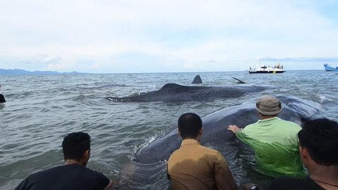 Banda Aceh, Indonesia - November 13, 2017: Community groups evacuated 9 whales stranded on the coast of Ujong Kareung, Aceh Besar, Aceh province.