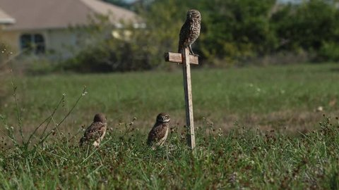 Static shot of three wild burrowing owls during heat of the day. Two of the owls are young and one owl walks back and forth from burrow. Taken in neighborhoods of Cape Coral, Florida.