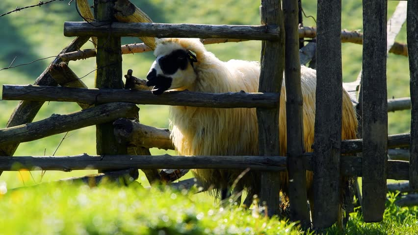 Sheep standing by wooden fence | Shutterstock HD Video #1022664010