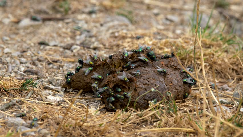 Flies on an animal excrement | Shutterstock HD Video #1022681140