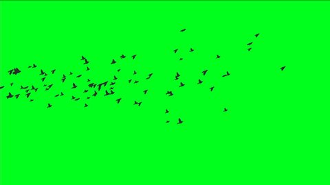 Flock Of Birds On Green Screen