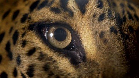 Leopard (Panthera pardus) eye detail