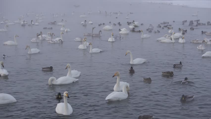 Swan Lake. Swans in the winter. Siberia. Ducks and swans in the reserve.