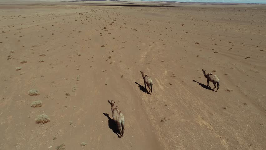 Group of camels being herded over sand desert in the Mongolia. Aerial footage. UHD | Shutterstock HD Video #1022914720