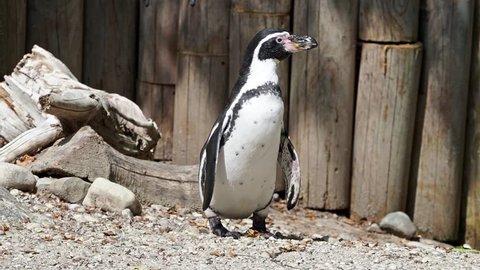 Humboldt penguin, Spheniscus humboldti or Peruvian penguin