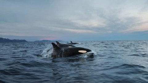 Orcas, killer whales or Orcinus orca how they are called in latin, are following big schoals of herrings to the fjords of northern Norway.