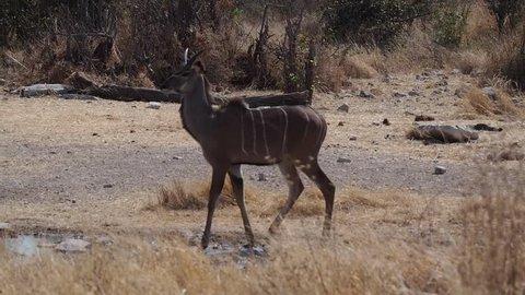 Greater kudu (Tragelaphus strepsiceros) in Etosha Nationalpark, Namibia, Africa