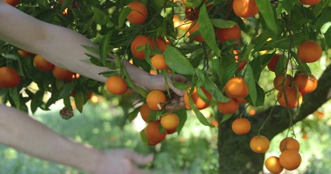 Man's hands gather ripe tangerines from a tree, sunny weather, with a sound, close up