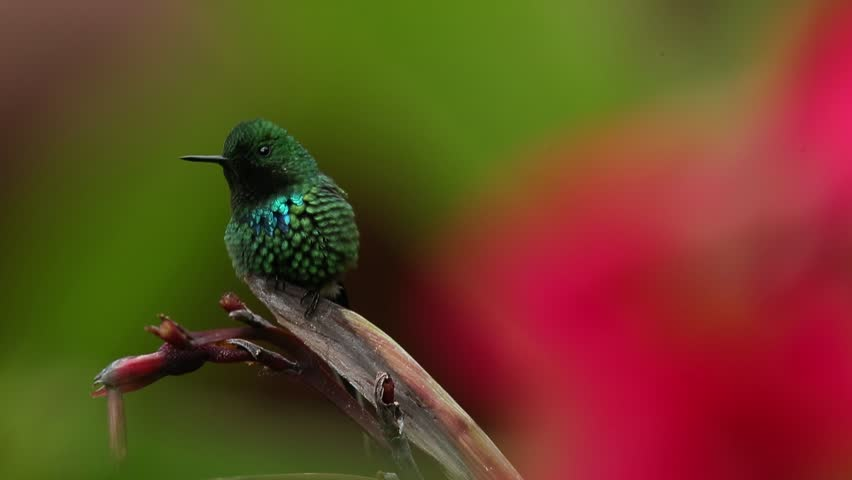 Nice hummingbird Green Thorntail (Discosura conversii) with blurred pink and red flowers in background, La Paz, Costa Rica | Shutterstock HD Video #10232432