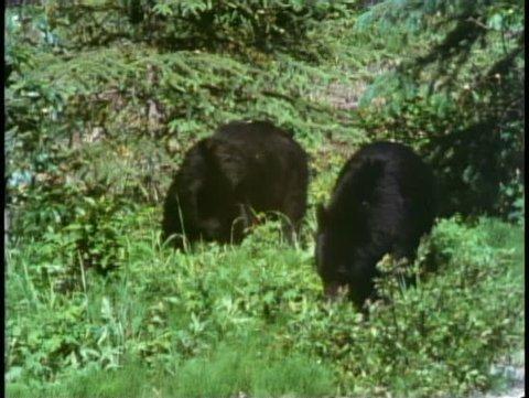 JASPER, ALBERTA, 1990, Jasper National Park, two black bears wander
