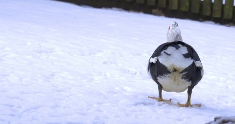 muscovy duck standing in snow and looking around