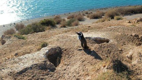Magellanic penguin colony (Spheniscus magellanicus) on the shore of Valdes Peninsula, Argentina. Clip contains original sound