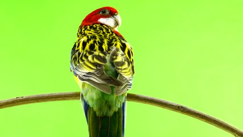 rosella parrot isolated on green screen