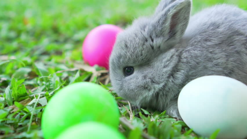 Adorable little grey easter bunny holland lop eating a grass, at near Easter eggs. Close up shot, slow motion | Shutterstock HD Video #1023677200