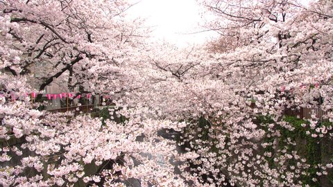 Beautiful Sakura or cherry blossoms spring at Tokyo Japan