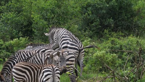 Zebra Mating Stock Video Footage 4k And Hd Video Clips Shutterstock