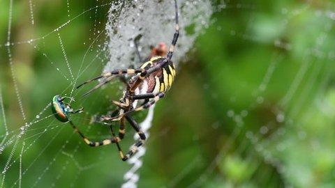 Wasp spider (Argiope bruennichi / Aranea brünnichii) cutting caught dead-nettle leaf beetle (Chrysolina fastuosa) loose from spiral orb web