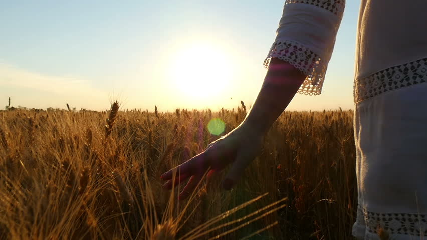 The hand of a girl close up touches ripe golden wheat spikelets. A girl in a white dress walking across a wheat field at sunset. #1024034450